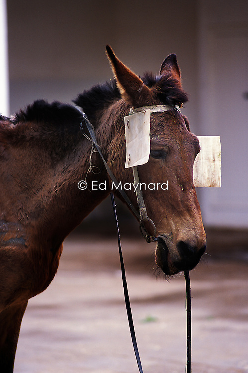 Thin and emaciated working mule with blinkers made from cardboard, waits to be seen by a vet at the SPANA refuge, Marrakech, Morocco.