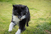 Black and white dog runs with a ball in her mouth.