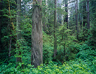 Redwood forest with fog , Prairie Creek Redwoods State Park, California, [4x5 original] © 1999 David A. Ponton