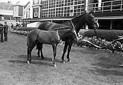 """08/08/1967<br /> 08/08/1967<br /> 08 August 1967<br /> R.D.S. Horse Show, Ballsbridge, Dublin. """"Seagahan"""" the property of Mr W. Mcl. wallace, M.R.C.V.S., Dunbarton House, Gosford, Portadown, Co. Armagh. 10yr old mare, winner of Class 8, Mares not eligible for entry in Weatherby's Stud Book, calculated to produce High-Class Hunters, with a foal at foot by a thoroughbred stallion, with Colt foal foaled on 2nd May by Valerullah."""