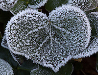 Fost on plants Heart shaped ivy leaf covered in frost