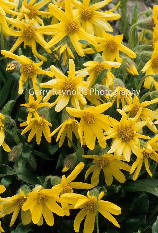 Arnica, Tundra, Yellow flower, flower, Wildflowers, Denali National Park, Alaska