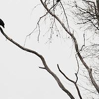 March 9, 2010 - Lexington, Kentucky, USA - Bald Eagle at Lake Ellerslie. Photos by David Stephenson