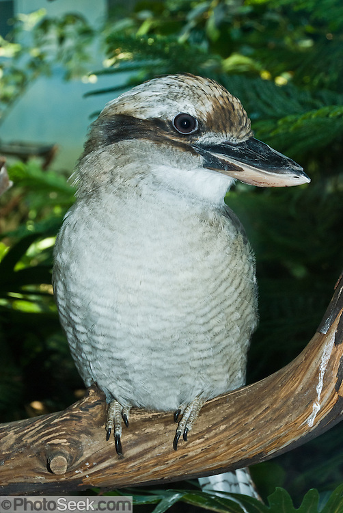 A Kookaburra (genus Dacelo) (or Cookaburras) is a large to very large (total length 28-42 cm/11-17 in) terrestrial kingfisher native to Australia and New Guinea. Photographed in the Woodland Park Zoo, Seattle, Washington.