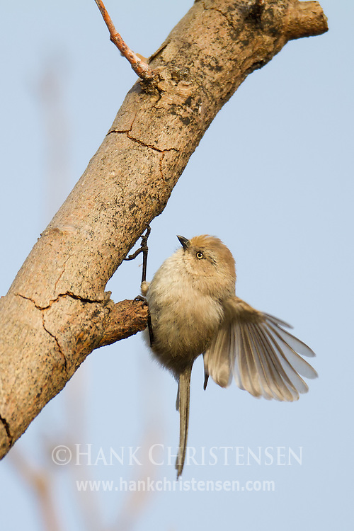 A bushtit flies up to a trimmed branch for a short break in its busy schedule
