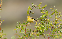 An American Goldfinch adult female feeds on seeds of a willow tree its male mate is in the branches below her.