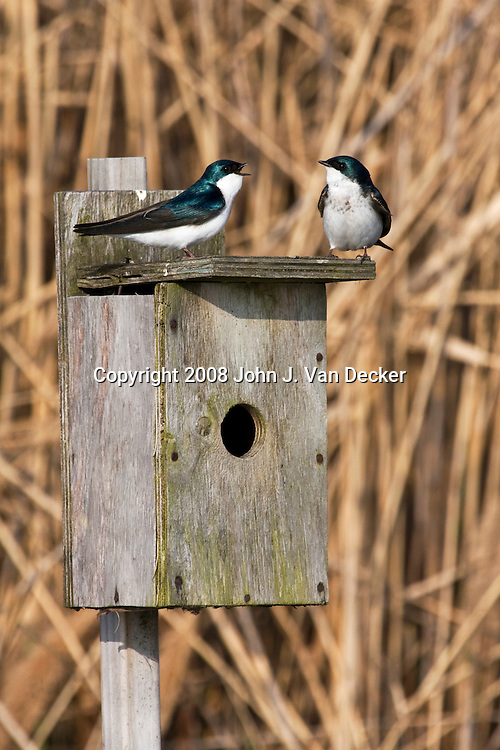 Pair of Tree Swallows, Tachycineta bicolor, talking on a birdbox