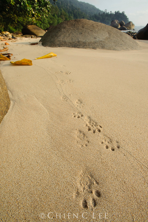 Fresh tracks of an Oriental Small-clawed Otter (Aonyx cinerea) along the beach at Tanjung Datu National Park.