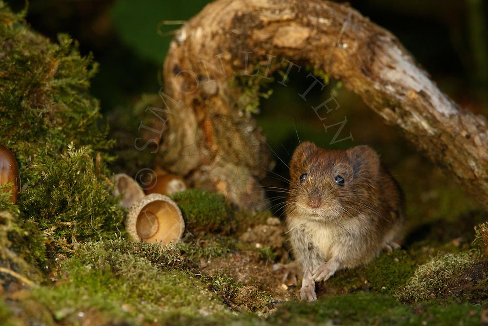 Bank Vole (Clethrionomys glareolus) adult on moss covered ground under fallen branch, South Norfolk, UK. September.