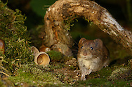 Bank Vole (Clethrionomys glareolus) adult on moss covered ground under fallen branch, South Norfolk, UK. September.