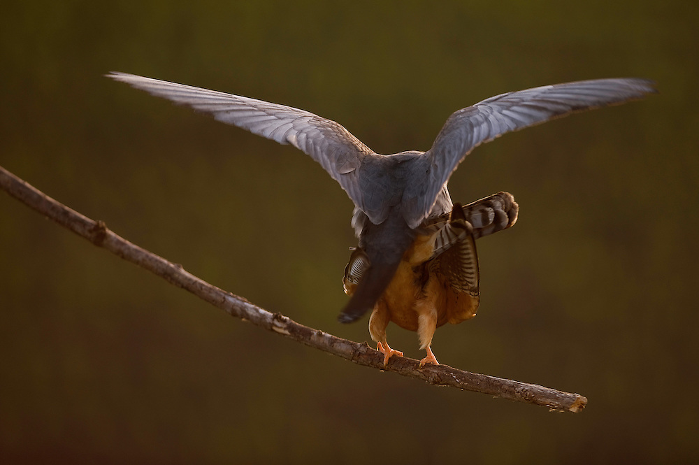 The Red-footed Falcon (Falco vespertinus) mating in the sunset, Hortobagy National Park, Hungary