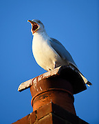 UK, January 23 2017:  A seagull calls out while standing on a chimney pot in Budleigh Salterton. Copyright 2017 Peter Horrell.
