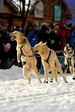 04 March 2006: Anchorage, Alaska - Excited lead dogs of Trent Herbst take to their hind legs prior to the Ceremonial Start in downtown Anchorage of the 2006 Iditarod Sled Dog Race