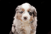 9 week old mixed breed (border collie / australian shephard) puppy. Western Oregon.