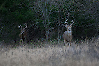 Young whitetail buck exiting from the brush with a mature buck in the background
