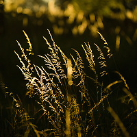 Backlit grass on a summer evening