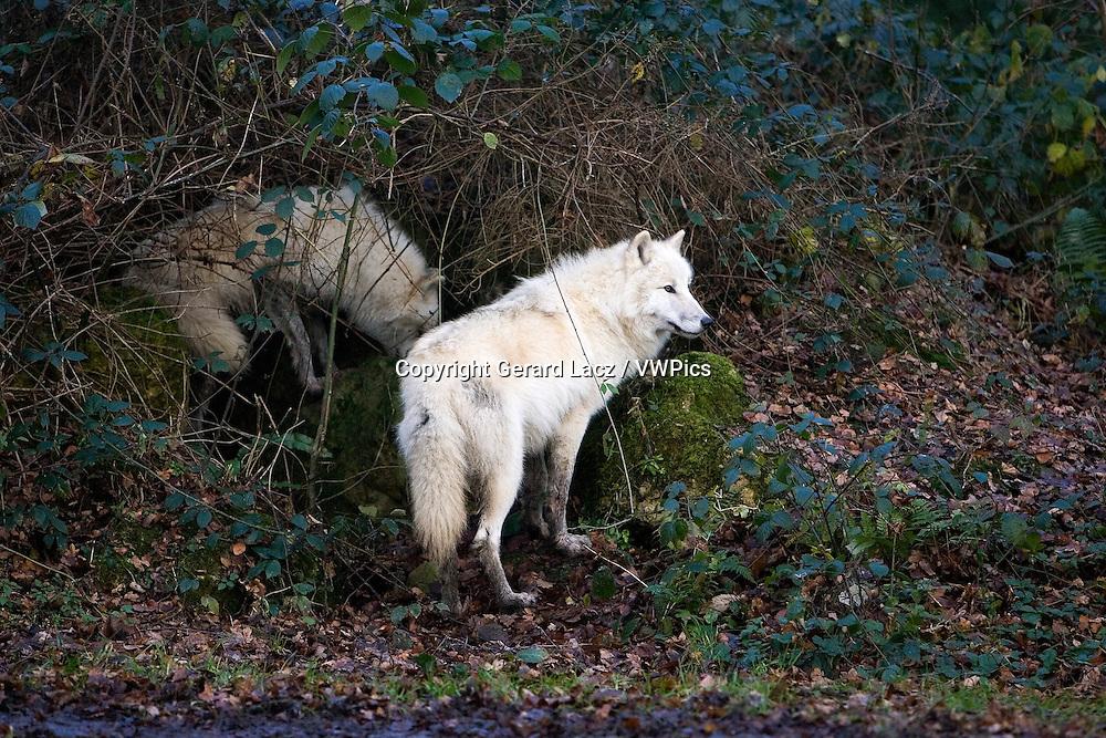 ARCTIC WOLF canis lupus tundrarum