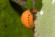 Swamp Milkweed Leaf Beetle larva; Labidomera clivicollis; on milkweed; Schuylkill Center, PA, Philadelphia