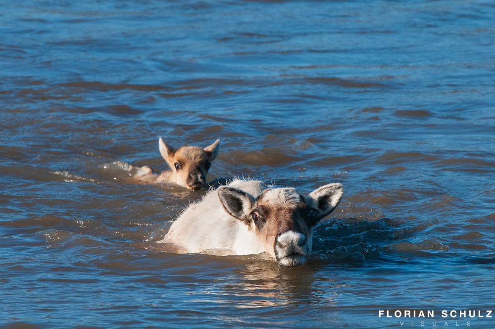 A caribou mother breaks the current of the river to allow its calf to follow in the eddy she creates. Calfs are capable of following their mothers on their migration within hours after their birth. Utukok River, Western Arctic Alaska