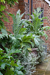 Cardoons - Cynara cardunculus in large terracotta containers in front garden