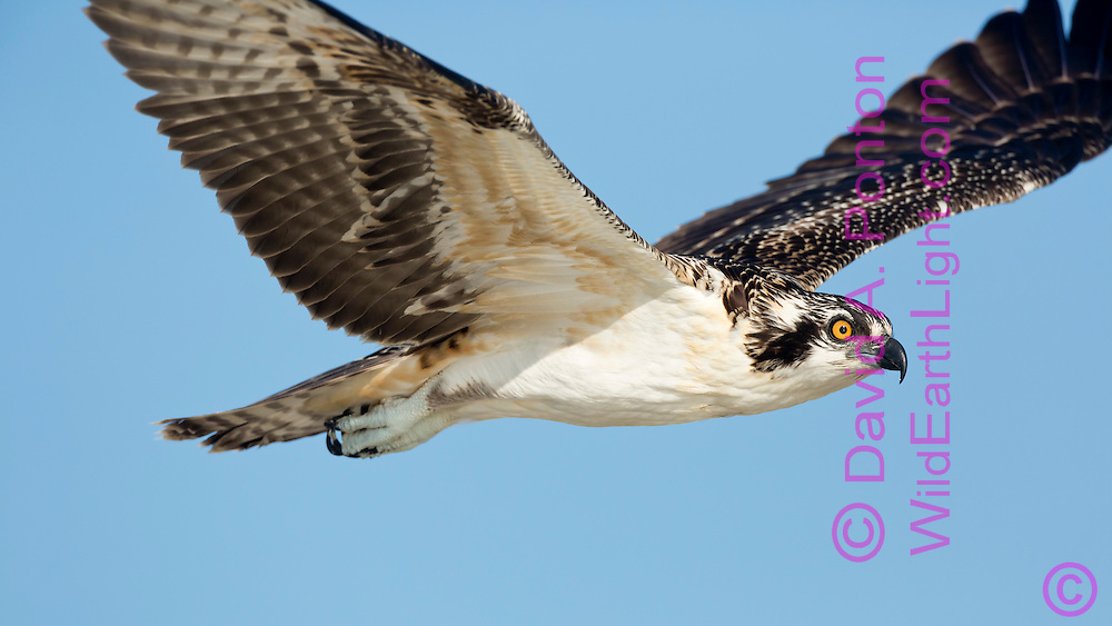 Osprey in flight, very close profile view, blue sky backgrond © 2014 David A. Ponton