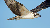BEAUTY OF FLIGHT: OSPREY
