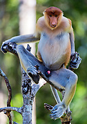 Proboscis Monkey (Nasalis larvatus) in Labuk Bay, Sabah, Borneo.