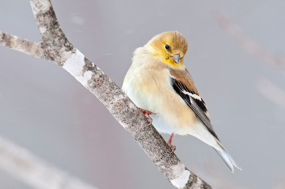 American Goldfinch, Carduelis tristis, male, winter, Luce Co., Michigan
