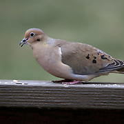 A Mourning Dove, Zenaida macroura, eating birdseed on a deck railing. New Jersey, USA.