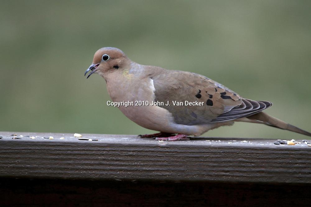 A Mourning Dove, Zenaida macroura, eating birdseed on a deck railing. New Jersey, USA.