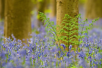 Fern Pteridium aquilinum and bluebells Hyacinthoides non-scripta, Hallerbos forest Belgium