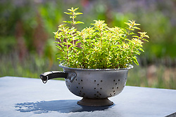 Oregano in a recycled colander