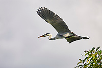 Great Blue Heron (Ardea herodias), Araras Ecolodge,  Mato Grosso, Brazil (Photo: Peter Llewellyn)