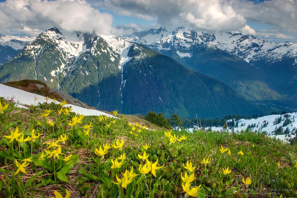 Glacier Lilies (Erythronium grandiflorum) blooming on meadowed slopes of Goat Mountain, Mount Baker Wilderness Washington USA