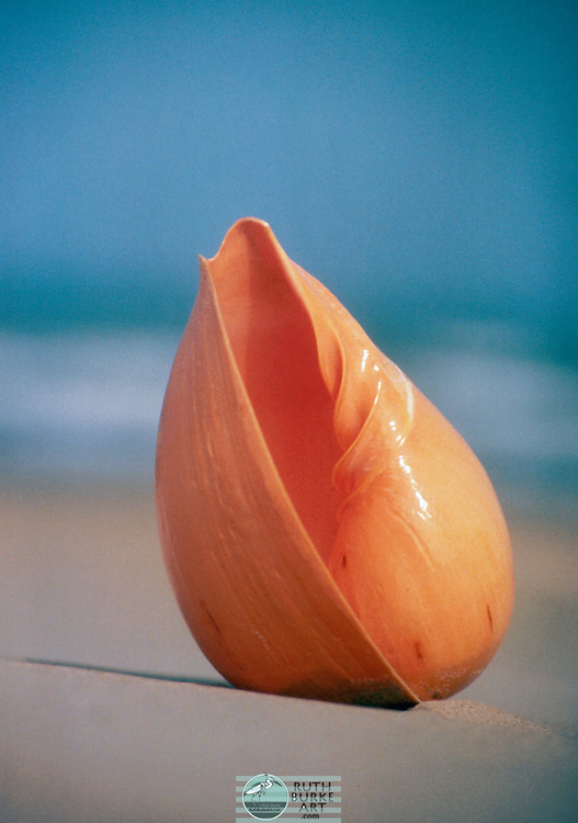 """Melon Sea Shell - Melo is a genus of extremely large sea snails, marine gastropod molluscs in the family Volutidae, the volutes. Because of their huge ovate shells, these snails are often known as """"balers"""" (the shells were sometimes used for baling out canoes) or """"melons"""" (because the shell resembles that fruit)."""