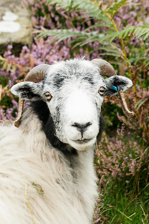 A sheep on the Yorkshire Moors