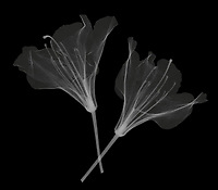 X-ray image of a rhododendron flower duo (Rhododendron, white on black) by Jim Wehtje, specialist in x-ray art and design images.