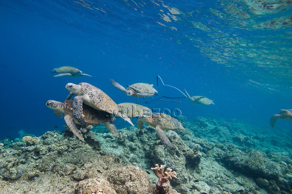 A pair of mating green turtles, Chelonia mydas, being chased by rival males off Sipadan Island, Borneo, East Malaysia.