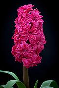 Hyacinthus orientalis 'Hollyhock' - double hyacinth