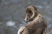 USA, Wyoming, Yellowstone National Park, Bighorn Ram, Bighorn Sheep