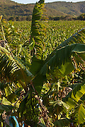 Banana plantation in Puerto Rico