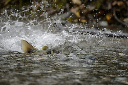 A chum salmon (Oncorhynchus keta) powers its way up the special spawning channel of Herman Creek to spawn during the fall chum salmon run. The nonprofit Northern Southeast Regional Aquaculture Association, Inc. (NSRAA) built the channel to collect wild broodstock by harvesting spawning female and male salmon for their eggs and milt. <br /> <br /> The chum salmon is returning to freshwater Herman Creek near Haines, Alaska after three to five years in the saltwater ocean. Spawning only once, chum salmon die approximately two weeks after they spawn. Both sexes of adult chum salmon change colors and appearance upon returning to freshwater. Unlike male sockeye salmon which turn bright red for spawning, male chum salmon change color to an olive green with purple and green vertical stripes. These vertical stripes are not as noticeable in females, who also have a dark horizontal band. Both male and female chum salmon develop hooked snout (type) and large canine teeth. These features in female salmon are less pronounced. <br /> <br /> Herman Creek is a tributary of the Klehini River and is only 10 miles downstream of the area currently being explored as a potential site of a copper and zinc mine. The exploration is being conducted by Constantine Metal Resources Ltd. of Vancouver, British Columbia along with investment partner Dowa Metals &amp; Mining Co., Ltd. of Japan. Some local residents and environmental groups are concerned that a mine might threaten the area&rsquo;s salmon. Of particular concern is copper and other heavy metals, found in mine waste, leaching into the Klehini River and the Chilkat River further downstream. Copper and heavy metals are toxic to salmon and bald eagles.<br /> <br /> Chilkat River and Klehini River chum salmon are the primary food source for one of the largest gatherings of bald eagles in the world. Each fall, bald eagles congregate in the Alaska Chilkat Bald Eagle Preserve, located only three miles downriver from the area of current exploration.