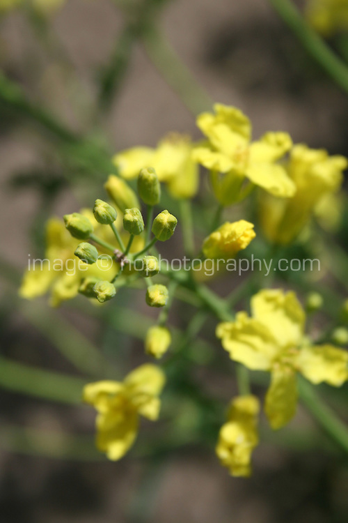 Yellow flowers on Kale plant gone to seed