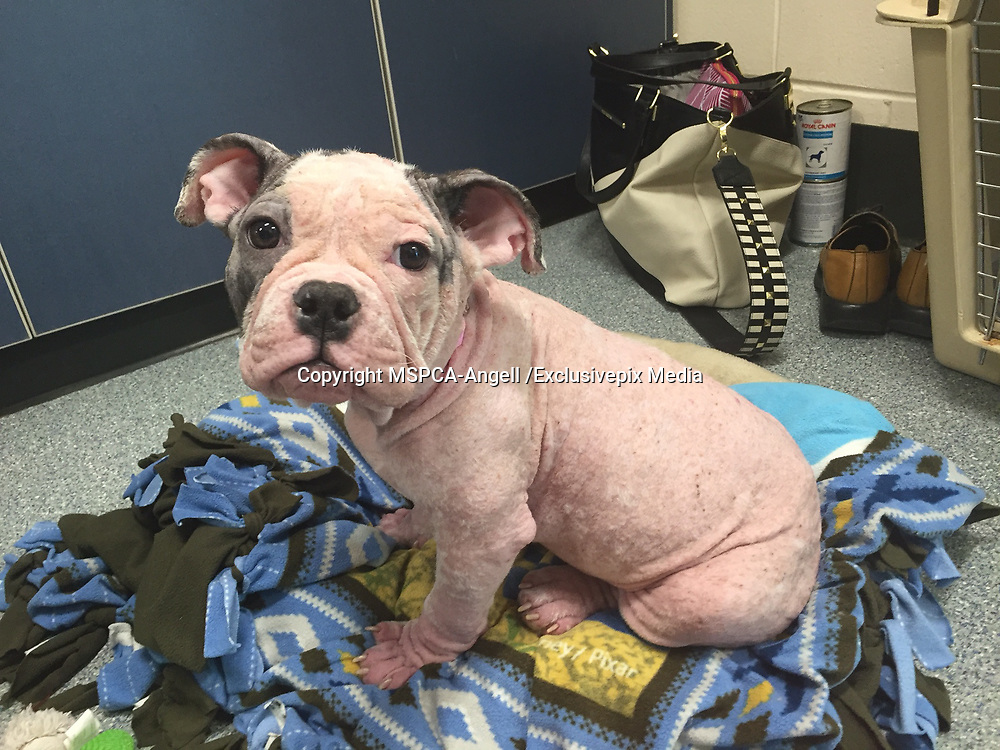 "Desperate Puppy Struck with ""Worst Ever"" Case skin disease<br /> <br /> Officials at the MSPCA-Angell in Boston have called the skin disease plaguing a homeless puppy the worst they have ever seen and are determined to do everything possible to cure the four-month -old canine before placing her into a loving home<br />  <br /> Fortunately, the four-month-old bulldog-mix is benefitting from a revolutionary treatment administered by Dr. Klaus Loft of the dermatology service at the MSPCA's Angell Animal Medical Center—a treatment that is harnessing the power of her own immune system to heal her disease.<br />  <br /> Found on the Street <br /> Sheba was found outside in the Boston neighborhood of Dorchester on Feb. 22 and transferred to the MSPCA after a veterinarian at Boston's Animal Care and Control facility performed an initial assessment.<br />  <br /> Andrea Bessler, a veterinary technician in the clinic that abuts the adoption center, was shocked at her appearance.  ""In my nearly 11 years of practice I've never seen a case of mange this severe—she literally had no fur and was covered in oozing, open wounds,"" she said.<br />  <br /> Sheba is suffering from Demodectic Mange, an infection caused by tiny, cigar-shaped egg-laying mites.  The mites reside and feed on the hair follicles and oil glands of the skin causing hair loss, severe pain and itching and—when left untreated—open, infected wounds.  The disease is not contagious and no other animals at the adoption center are at risk.<br />  <br /> Breakthrough Medical Treatment<br /> Dr. Loft has been treating Sheba for several weeks with a medication called Cytopoint, which he describes as the ""holy grail"" for the treatment of severe skin infections.  ""Essentially, the drug creates an artificial antibody that turns off the intense 'itch signal,' preventing Sheba from further injuring herself through constant scratching.""<br />  <br /> Sheba is also receiving antibiotics, medicated baths and pain medicine and, according to Bessler, is beginning to turn the corner.  ""The wor"