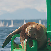A male California sea lion (Zalophus californianus) lounges on a buoy near Shilshole Marina in Puget Sound, Washington.  Male sea lions can grow up to 850lbs, and their voracious appetite for fish often leads to conflicts with fishermen.  Photo by William Byrne Drumm.