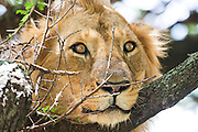 Lioness (Panthera leo) in a tree Photographed in Tanzania