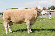 The Angus Show, Brechin, Saturday 8th June, 2013. Simmental champ from G & M Smith. Also overall show champ.