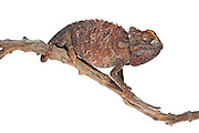 Studio portrait of a Namaqua chameleon (Chamaeleo namaquensis) on a stick in front of a white background.