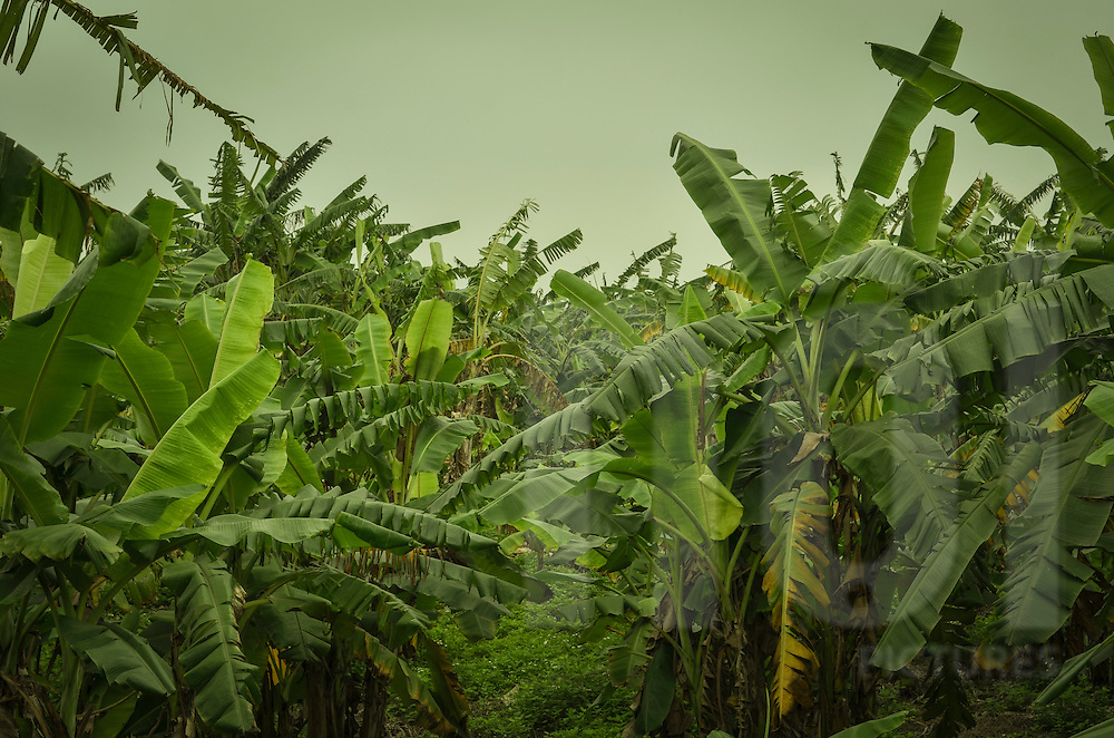 Large leaves of banana trees in a plantation close the Red river, Hanoi, Vietnam, Asia.