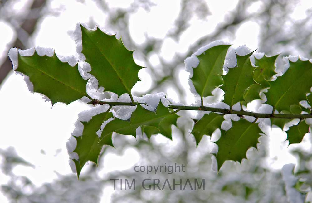 Snow covered holly branch, Hampstead Heath, London